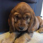 Harry The Cocker Spaniel Pup