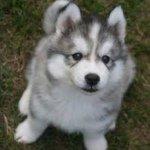 Siberian Husky 🐾
