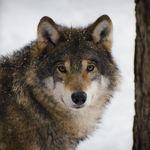 Joe Wolf