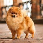 Katchina Kennel Pomeranian
