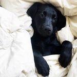 Labradortime ❤ Labradors