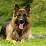 German Shepherd Lover