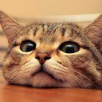 Lovely Cat Online