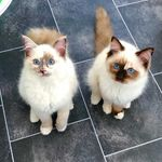 Luna & Willow Ragdoll Kittens