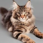 mainecoon lover