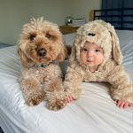 Bentley The Goldendoodle Puppy