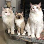 3 Ragdolls 🐱 + 2 🐶 siblings