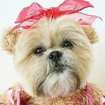Munchkin the Teddy Bear Dog 🐶🐻