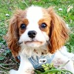 Nelly the Cavalier