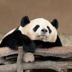 Panda camera CH