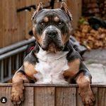 Pit Bulls Puppies
