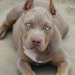 Amazing Pitbull Puppies!