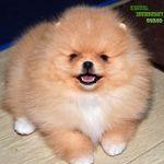Померанский шпиц/Pomeranian
