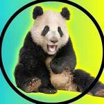Giant Pandas 🐼