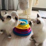 Simba&Kiara 🐱Ragdoll kitten