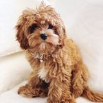 Rosie the Ruby Cavoodle