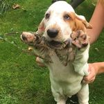 Ruby The Basset