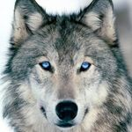 Wolves Kingdom