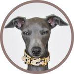 NELLO | Italian Greyhound 