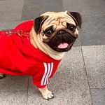 Vasco the Pug