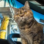 Tora the Trucker Cat