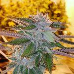 Trichome Cannabis