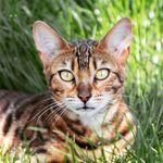 Tyger Nya & Oni | Bengal Cats