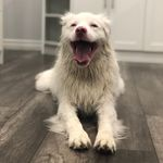 🐶Walter The Double Merle 🐶