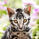 Wild N Sweet Bengals Cattery