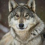 Wolves of Instagram 🐺