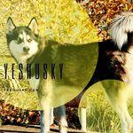 yeshusky