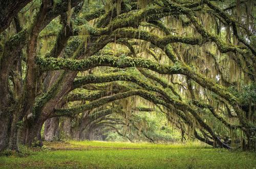 Quadro viale con querce nel bosco verde