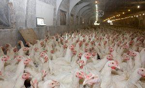 Hühner in Massentierhaltung