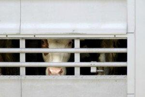 Kühe Transport