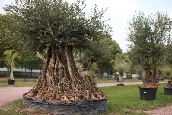 Plantes méditerranéennes | La Serre Tixier, Jardinerie Horticulture