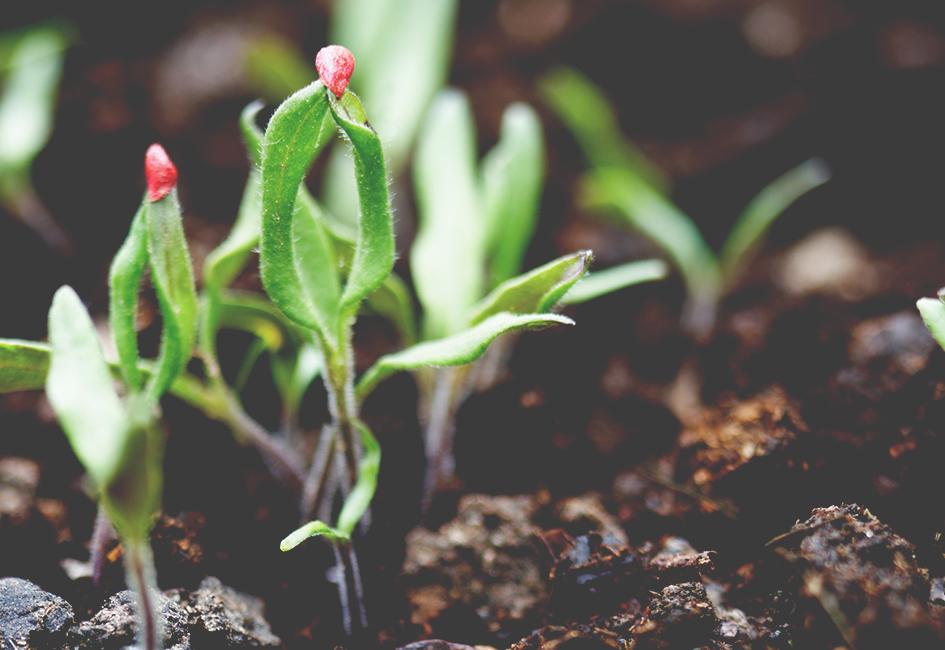 Graines, semences et bulbes