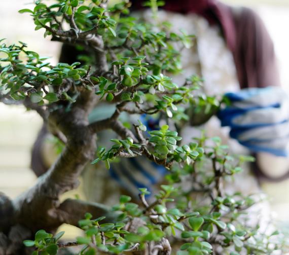 Bonsaïs   La Serre Tixier, Jardinerie Horticulture
