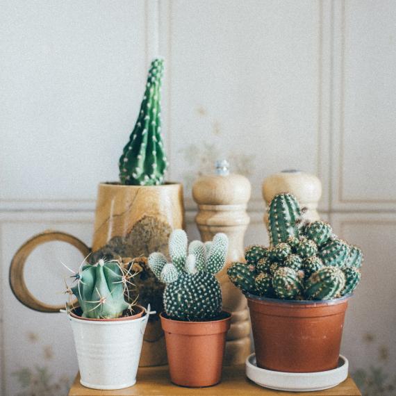 Cactus | La Serre Tixier, Jardinerie Horticulture