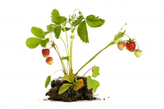 Fruits, petits fruits et agrumes | La Serre Tixier, Jardinerie Horticulture
