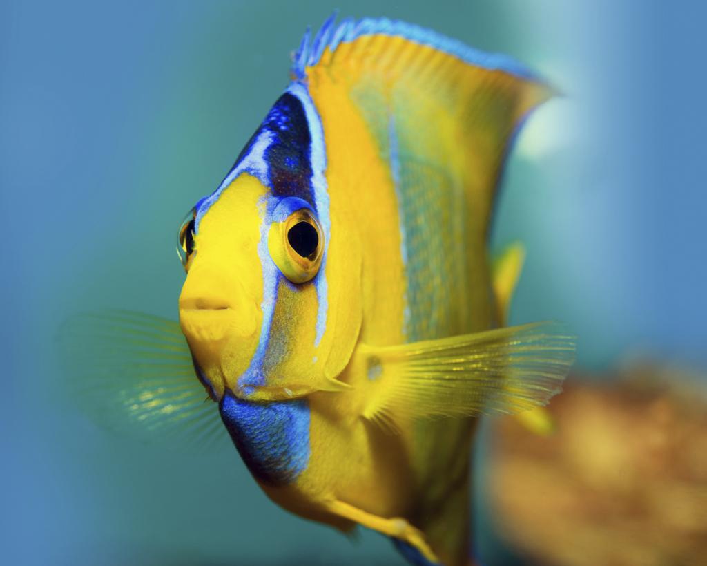 Poisson d'eau de mer jaune