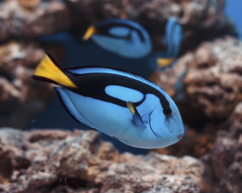 Poisson d'eau de mer bleu
