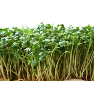 Curled Cress Seed Sprouts