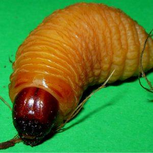 coconut worm