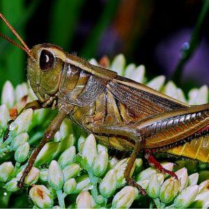 grasshopper (1)