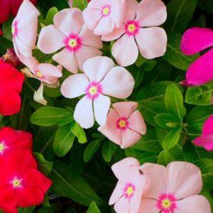 Catharanthus Roseus Flower Seeds