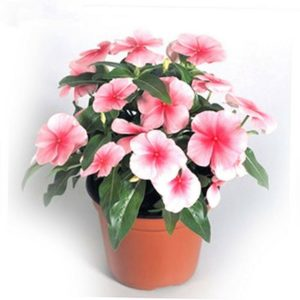 Catharanthus Roseus Pink Flower Seeds