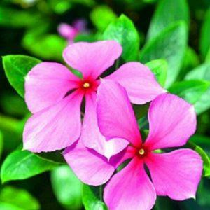 Madagascar Periwinkle Flower Seeds