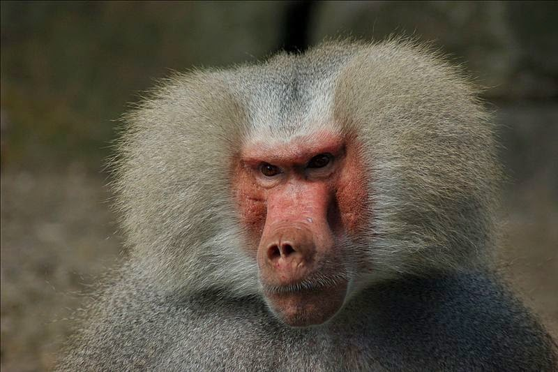 Mr. Baboon oval
