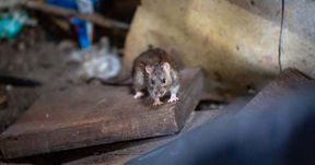 """So many rats regularly lurk on a sidewalk in Brooklyn that it is the humans who avoid the rats, not the other way around. Not even cars are safe: Rats have chewed clean through engine wires.  A Manhattan avenue lined with trendy restaurants has become a destination for foodies — and rats who help themselves to their leftovers. Tenants at a public housing complex in the South Bronx worry about tripping over rats that routinely run over their feet.  New York has always been forced to coexist with the four-legged vermin, but the infestation has expanded exponentially in recent years, spreading to just about every corner of the city.  """"I'm a former Marine so I'm not going to be squeamish, but this is bad,"""" said Pablo Herrera, a 58-year-old mechanic who has counted up to 30 rats while walking on his block in Prospect Heights, just around the corner from the stately Brooklyn Museum.  Rat sightings reported to the city's 311 hotline have soared nearly 38 percent, to 17,353 last year from 12,617 in 2014, according to an analysis of city data by OpenTheBooks.com, a nonprofit watchdog group, and The New York Times. In the same period, the number of times that city health inspections found active signs of rats nearly doubled.  Mayor Bill de Blasio, like mayors before him, has declared war on rats, but so far the city is still losing.  """"There is no doubt that rats have a major impact on New Yorkers' quality of life and this administration takes seriously our responsibility to control and mitigate their population,"""" said Laura Anglin, deputy mayor of operations. """"No New Yorker likes having rats in their community and we are committed to continuing the work of controlling rats in all of our neighborhoods.""""  One key reason rats seem to be everywhere? Gentrification. The city's construction boom is digging up burrows, forcing more rats out into the open, scientists and pest control experts say.  Milder winters — the result of climate change — make it easier for rats to survive and """