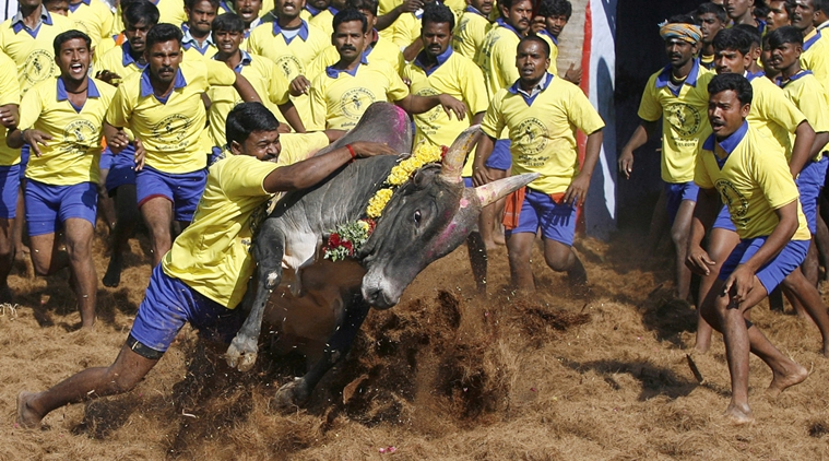 Pongal celebrated in Tamil Nadu, 30 injured in Jallikattu